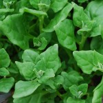 Images of New Zealand spinach