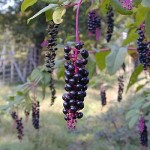 Images of Phytolacca americana