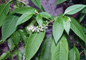 Pictures of Phytolacca americana