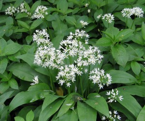Ramsons Picture