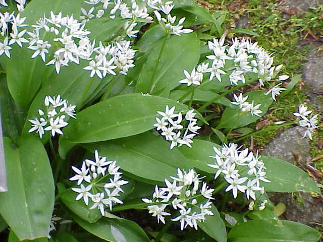 Pictures of Ramsons