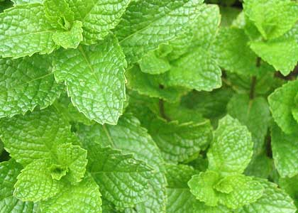 Images of Spearmint