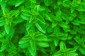Photos of Spearmint