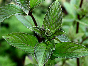 Pictures of Spearmint