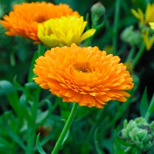 Calendula officinalis (Pot Marigold) Picture