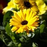 Images of Calendula officinalis (Pot Marigold)