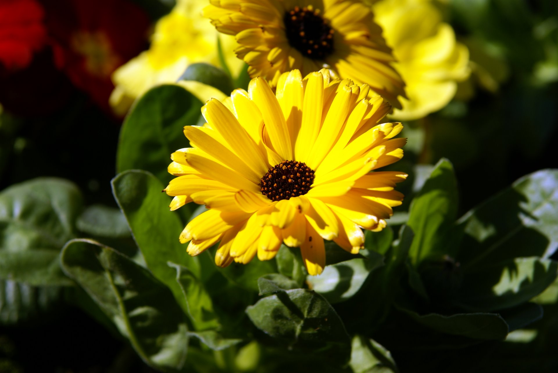 Images of Calendula officinalis (Pot Marigold)