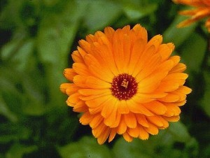Photos of Calendula officinalis (Pot Marigold)