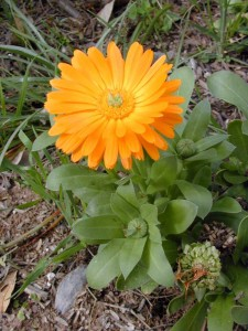 Pictures of Calendula officinalis (Pot Marigold)