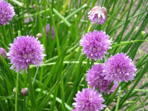 Pictures of Chives