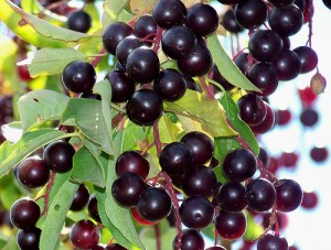 Chokecherry Picture