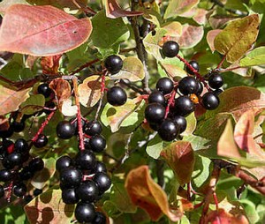 Images of Chokecherry