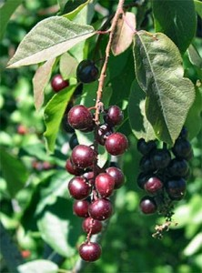 Photos of Chokecherry