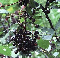 Pictures of Chokecherry