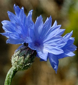 Images of Cornflower