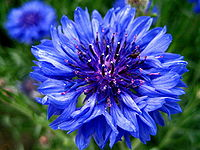 Pictures of Cornflower