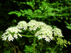 Photos of Cow Parsley