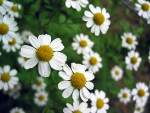 German chamomile Picture