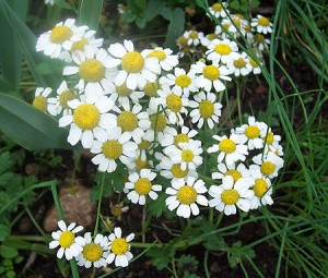 Images of German chamomile