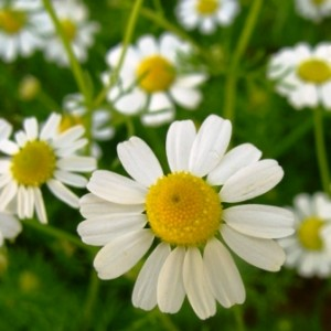 Photos of German chamomile