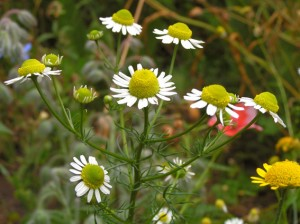Pictures of German chamomile