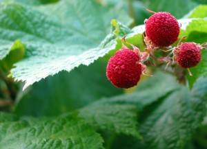 Thimbleberry Picture