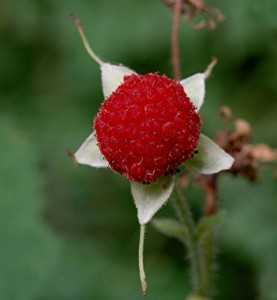 Images of Thimbleberry