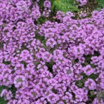 Pictures of Thymus serpyllum