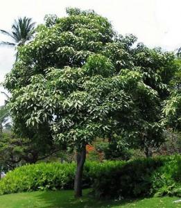 Candlenut Tree Image