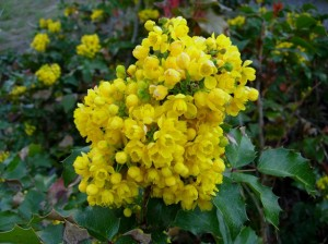 Oregon grape Flower Image