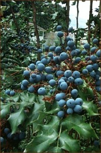 Pictures of Oregon grape