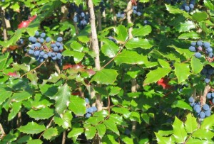 Oregon grape Plant Photo