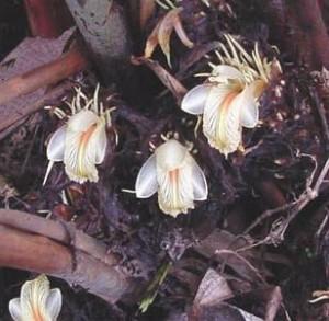 Black Cardamom Flowers Photo