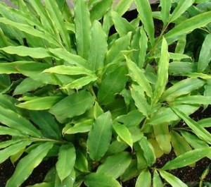 Black Cardamom Plants Image