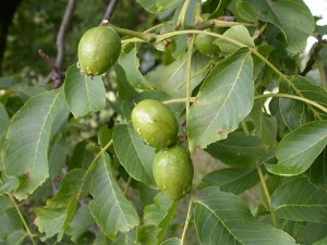 Juglans Cinerea Picture