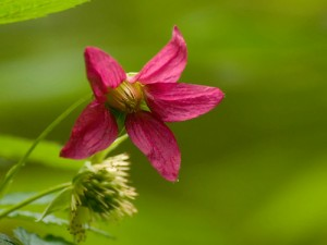Salmonberry Flower Photo