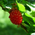 Images of Salmonberry
