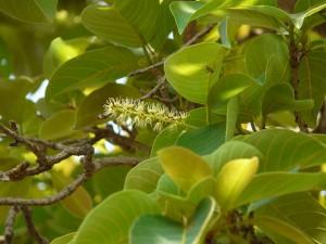 Terminalia chebula (Haritaki) Tree Image