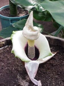 Amorphophallus Paeoniifolius Picture