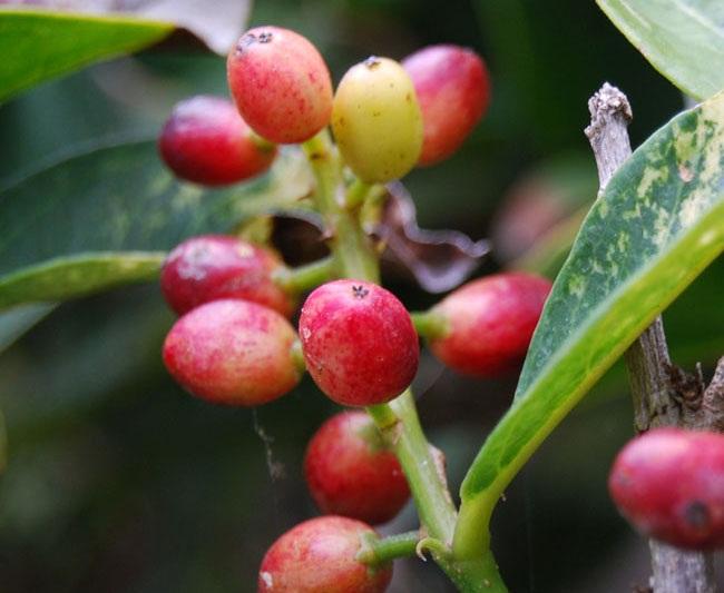 Photos of Antidesma bunius