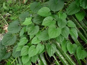 Dioscorea Alata Picture