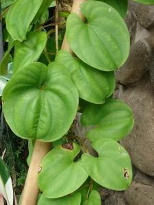 Images of Dioscorea Alata
