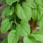 Pictures of Dioscorea Alata