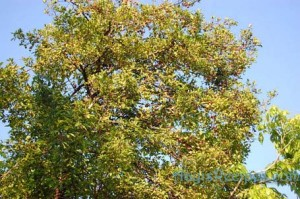 Image of Kokum Tree