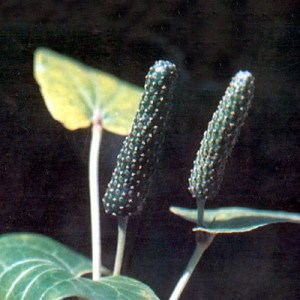 Images of Piper Longum (Long pepper)