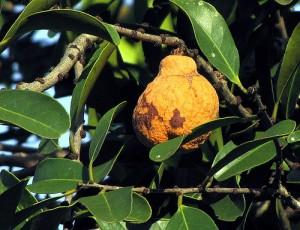 Images of Bacupari