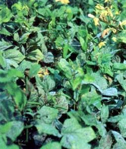 Black Gram Plant Image