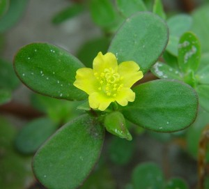 Images of Portulaca Oleracea