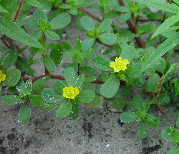 Pictures of Portulaca Oleracea