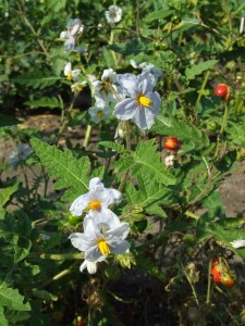 Images of Solanum Sisymbriifolium